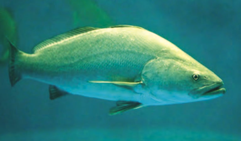 Article image for Aquaculture gives endangered totoaba a fighting chance