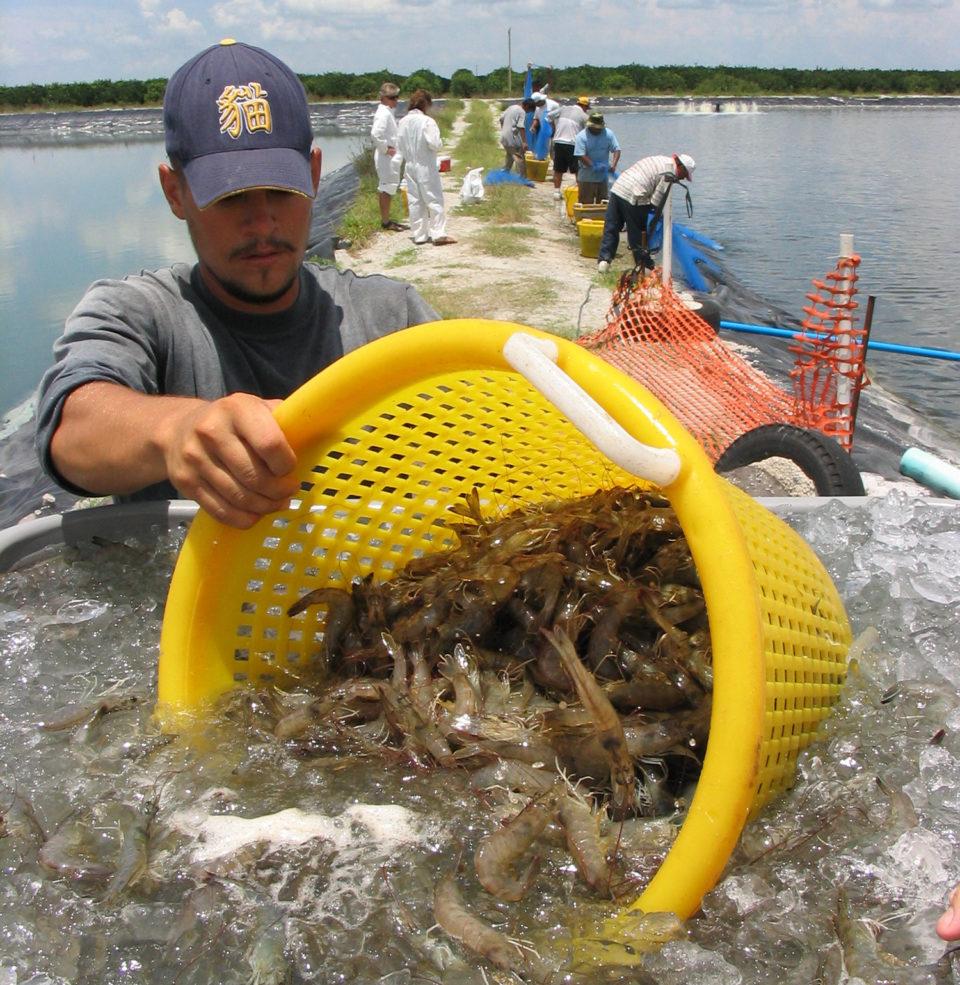 shrimp farm harvest