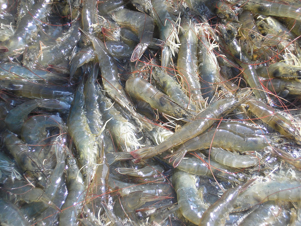 biosecurity shrimp