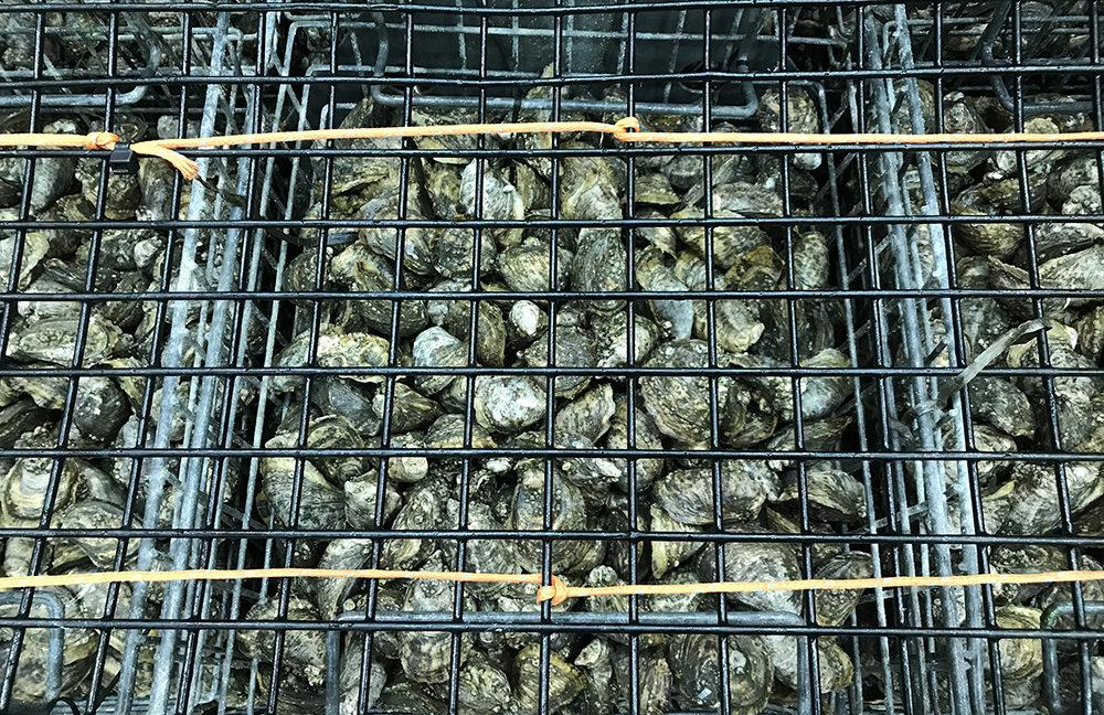 Taylor shellfish Skigoku