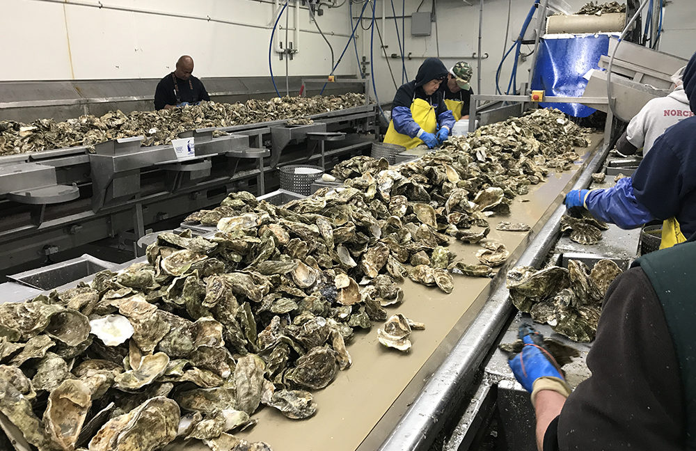 Taylor shellfish oysters