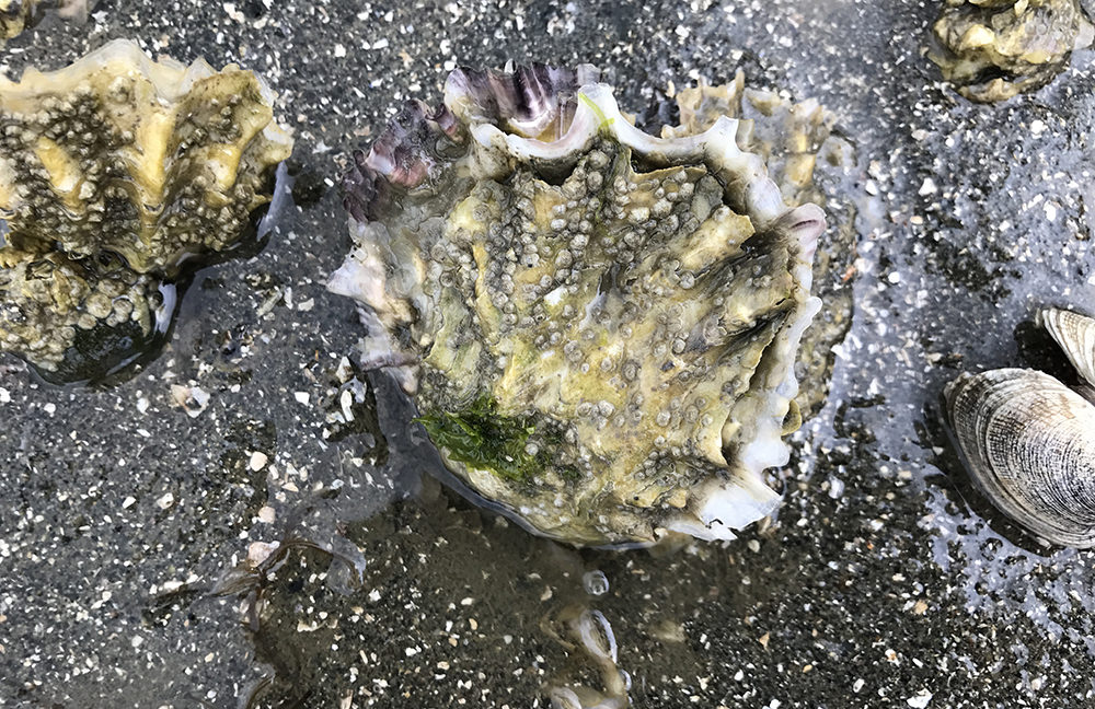 Taylor shellfish oyster