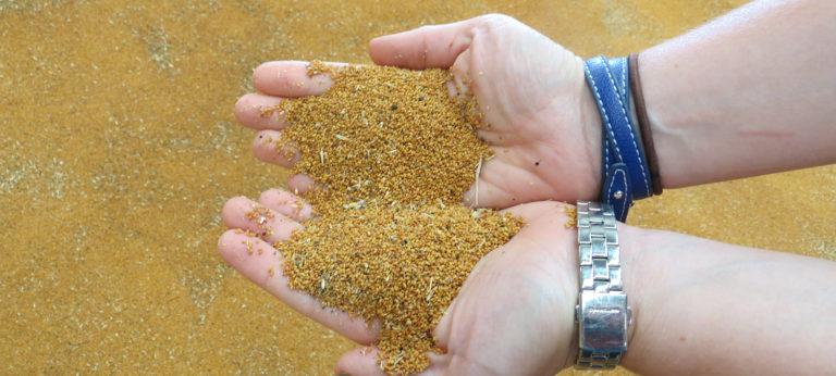 Camelina seeds