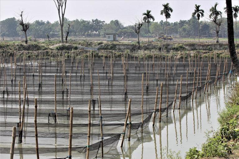Article image for La industria de cultivo de tilapia de Bangladesh muestra resiliencia