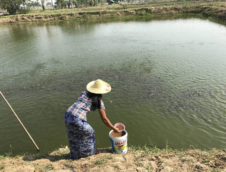 Article image for Giving a lift to tilapia farmers in Myanmar