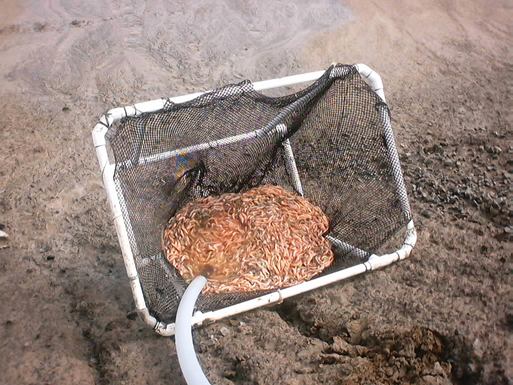 Article image for Biosecurity protocols needed for shrimp feeds, feeding practices