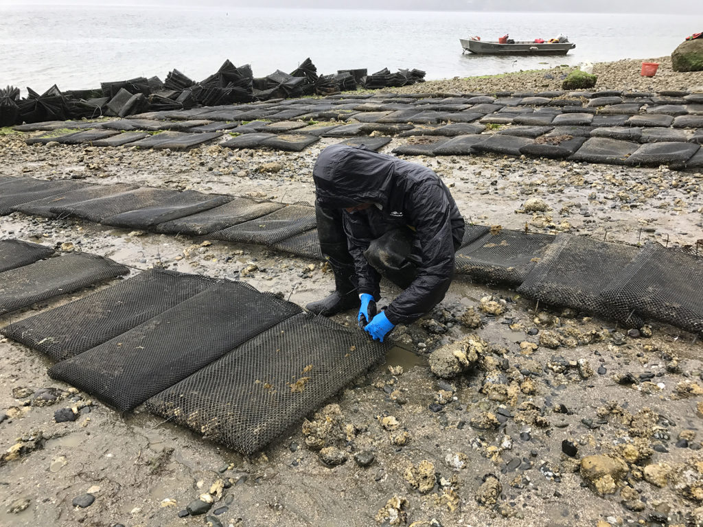 Article image for Genetic tool aims to stem the tide of oyster virus