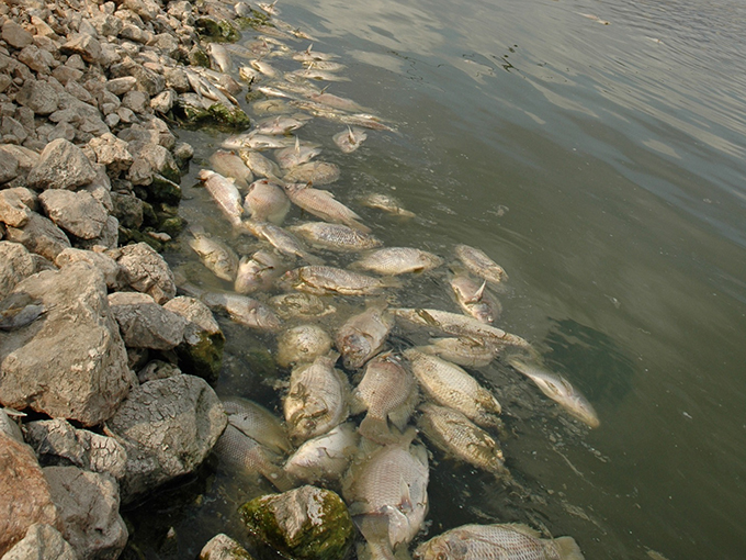 Article image for Sizing up TiLV and its potential impact on tilapia production