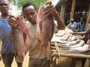 aquaculture Africa tilapia Chicoa