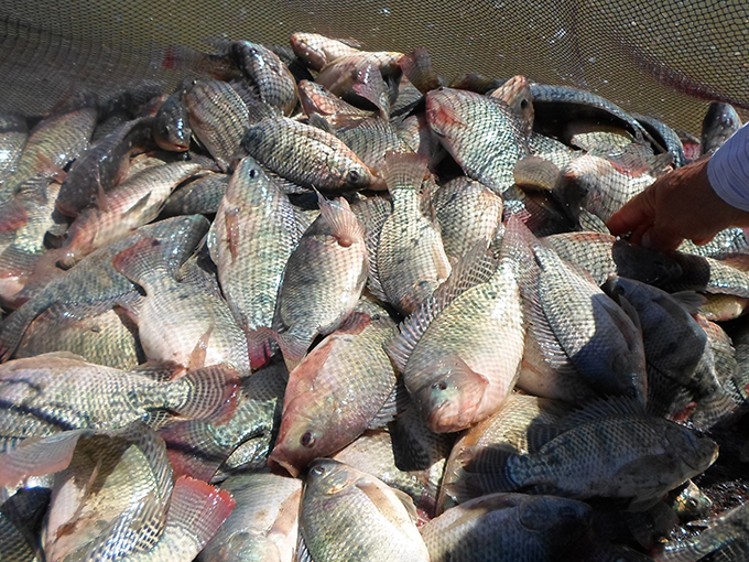 Article image for Egypt's success with tilapia a blueprint for all Africa