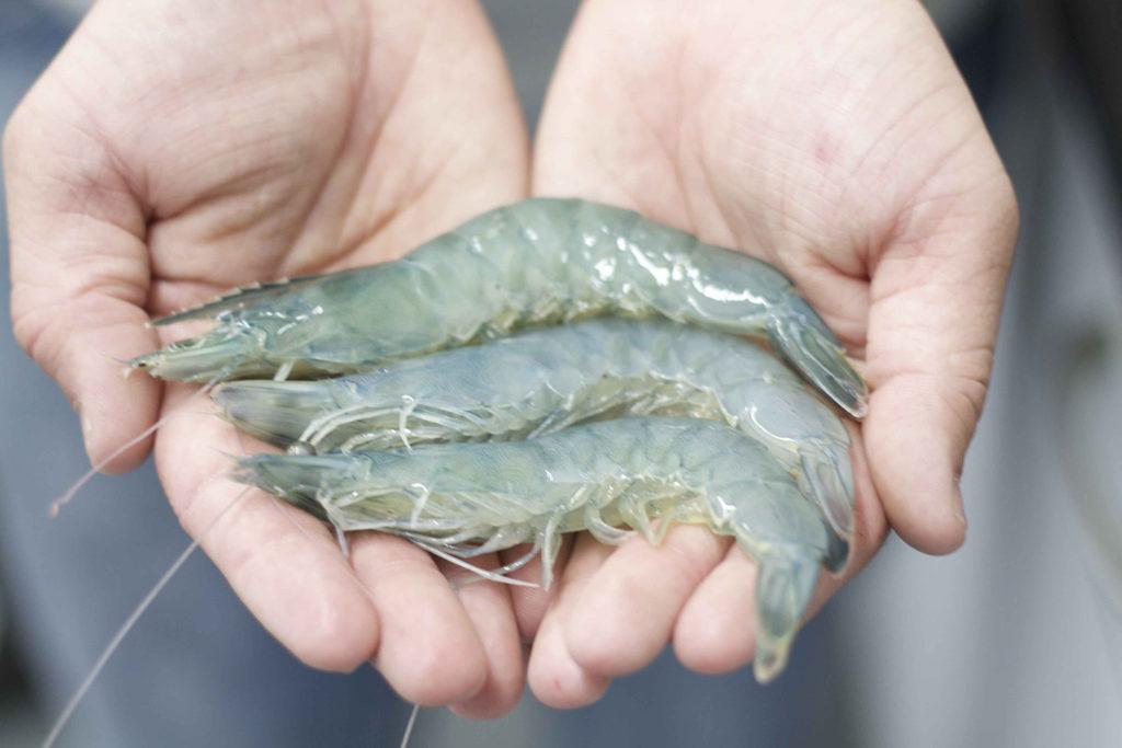 Article image for Nacido de Tormenta: La industria de cultivo de camarón en tierra de los Estados Unidos