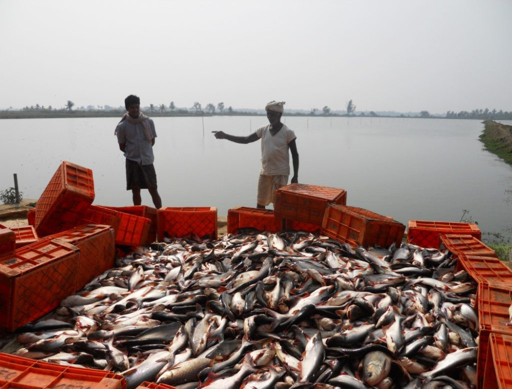 Article image for Pangasius aquaculture growing in India