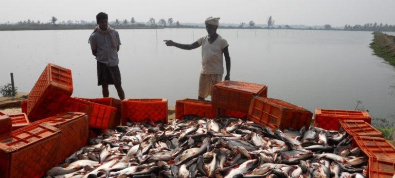 Pangasius aquaculture growing in India « Global Aquaculture Advocate