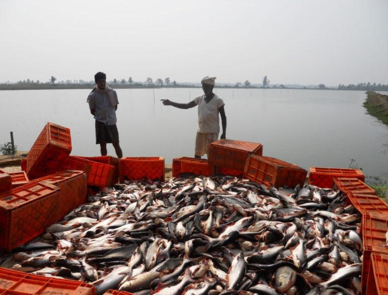 Article image for La acuacultura de pangasius crece en la India