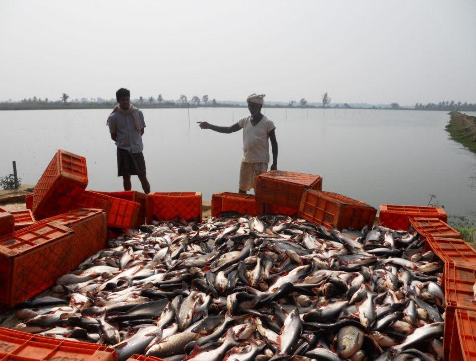 Pangasius aquaculture growing in India « Global Aquaculture