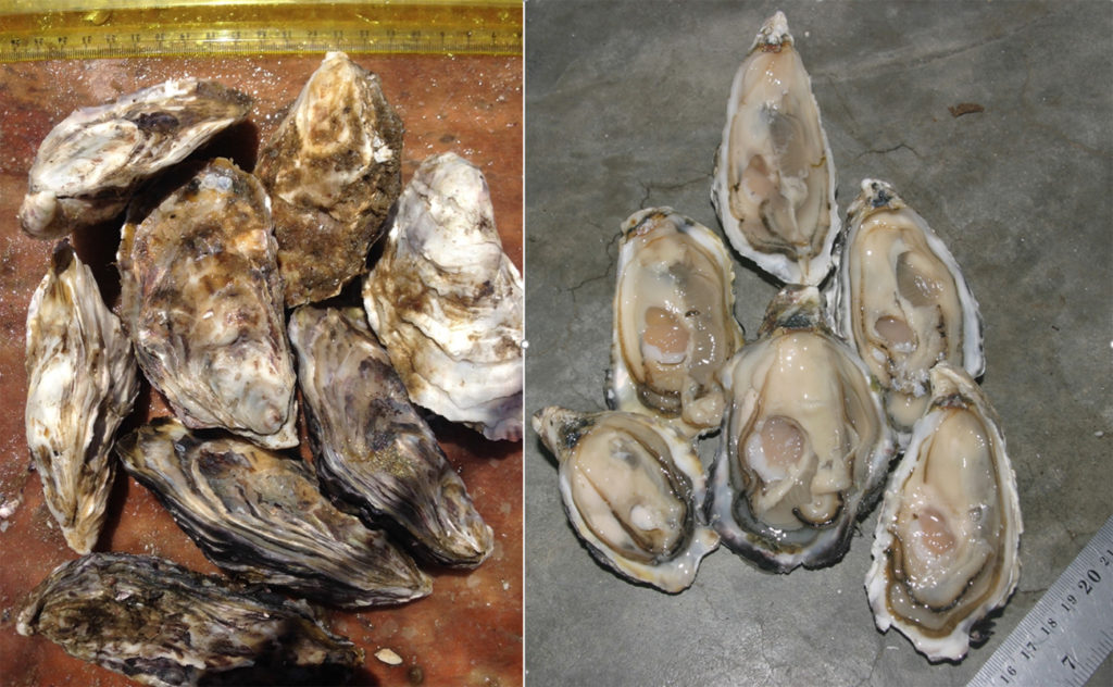 Article image for An emerging shellfish farming industry in Namibia