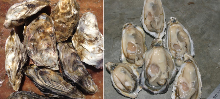 Namibia oysters