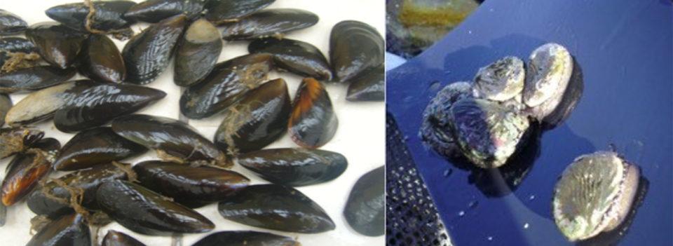 Namibia shellfish