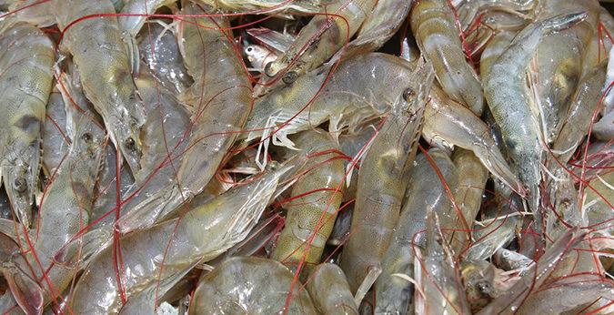 India shrimp