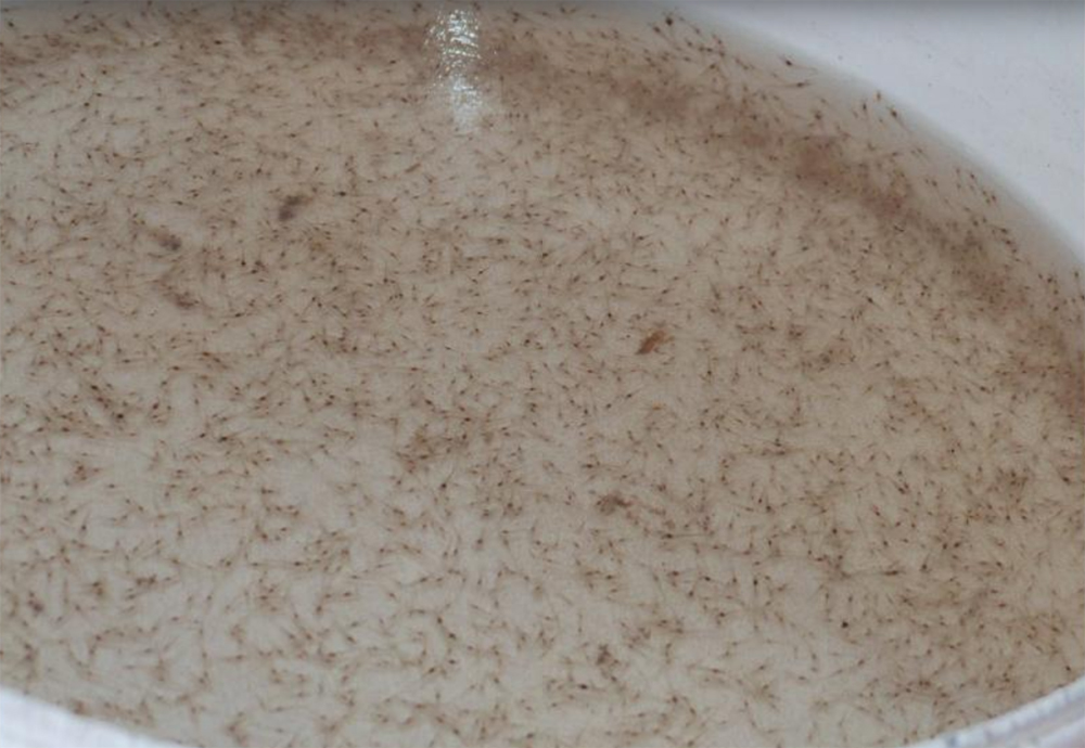Article image for Determining causes of osmotic stress in Pacific white shrimp postlarvae