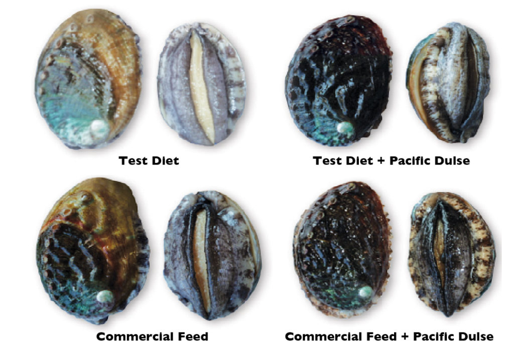 Article image for Diets affect abalone meat quality, shell color