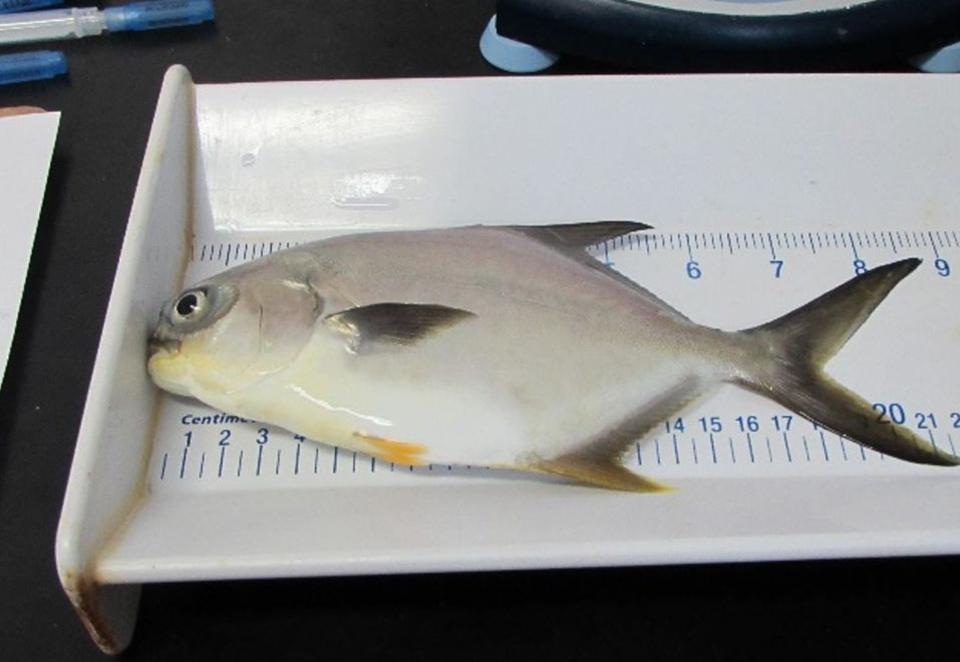 Article image for Evaluación del reemplazo dietético del aceite de pescado en el pámpano juvenil de Florida