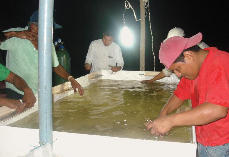 Article image for Non-SPF shrimp breeding in Ecuador