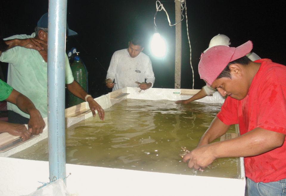 Non-SPF shrimp