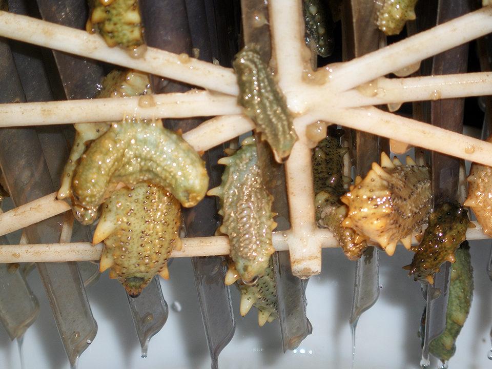 juvenile sea cucumbers