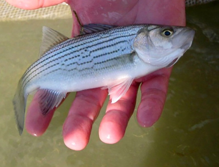 Article image for Stocking rate effects on growing juvenile sunshine bass