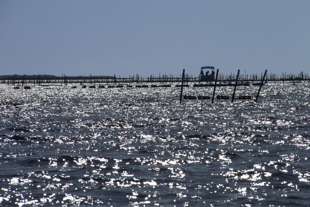 Article image for Hatching a plan for Florida oyster farming