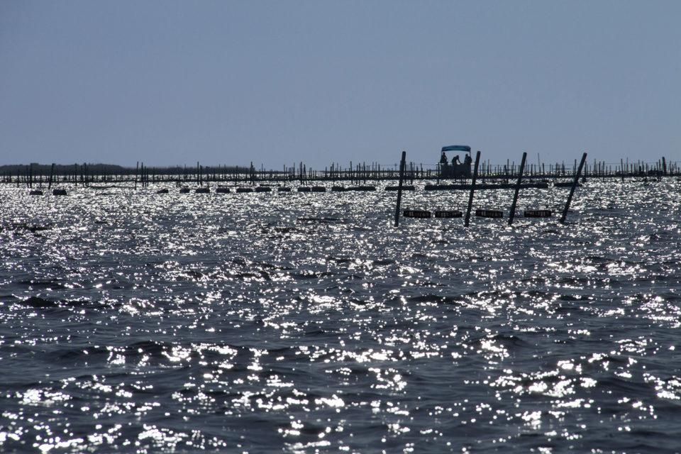 ostras en Florida