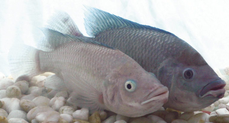 Article image for Hybrid tilapia outperform purebreds in seawater study