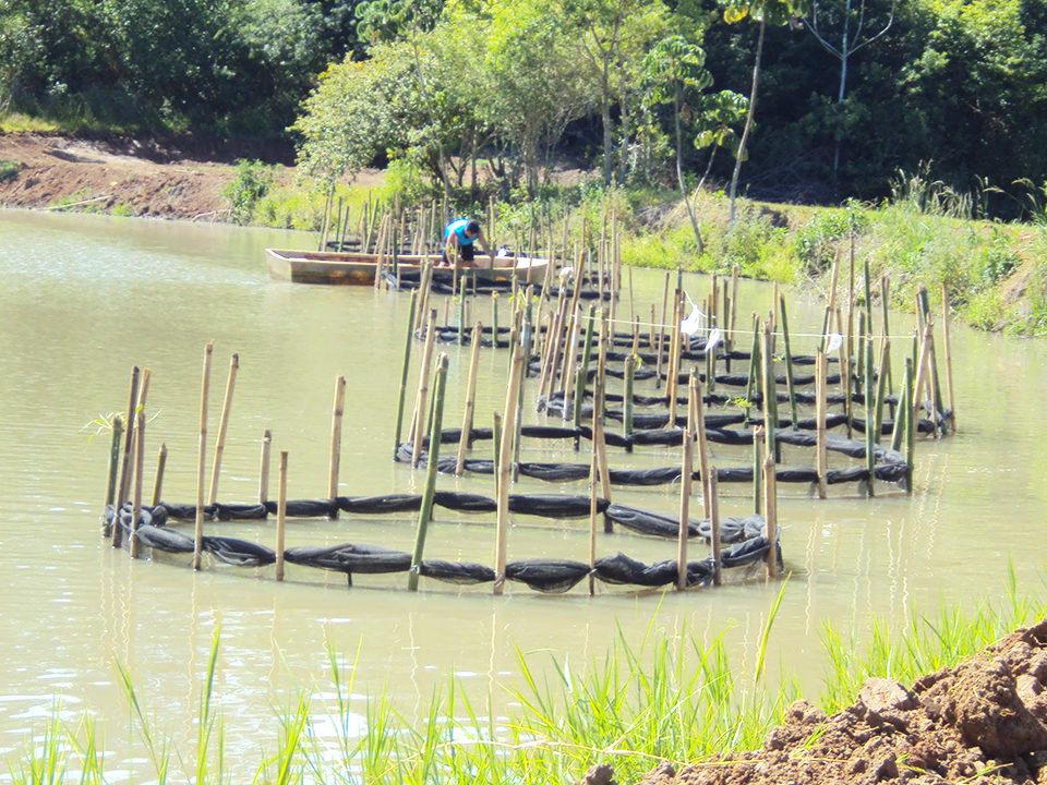 Amazon River prawn