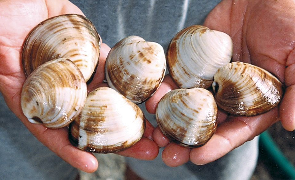 Article image for Temperature affects quality, safety of quahog clams