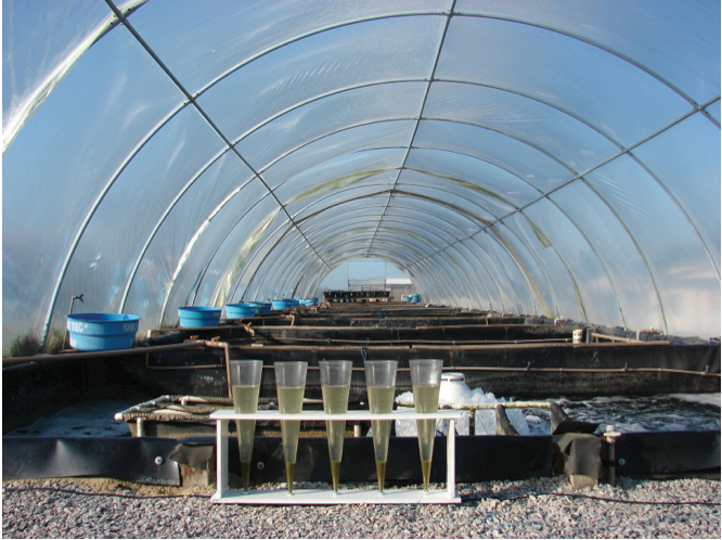 Article image for Ammonia addition enhances microbial flocs in nursery phase for Pacific white shrimp