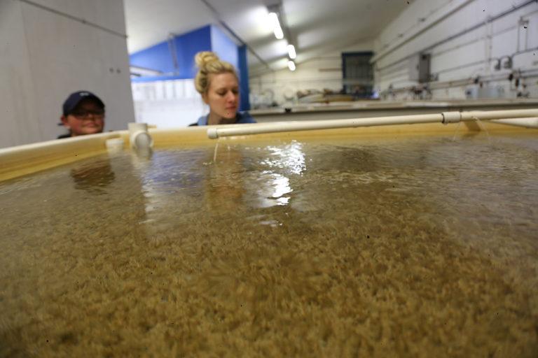 Article image for Tiempos inciertos para la producción de larvas de ostras en América del Norte