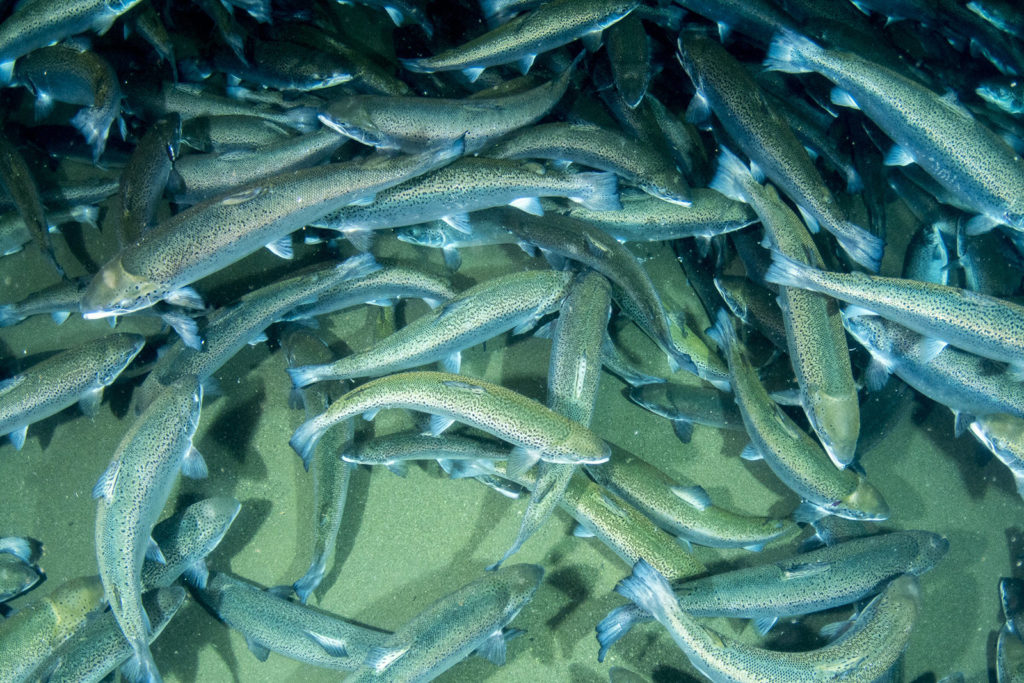 Article image for Developments in closed-containment technologies for salmonids, part 2