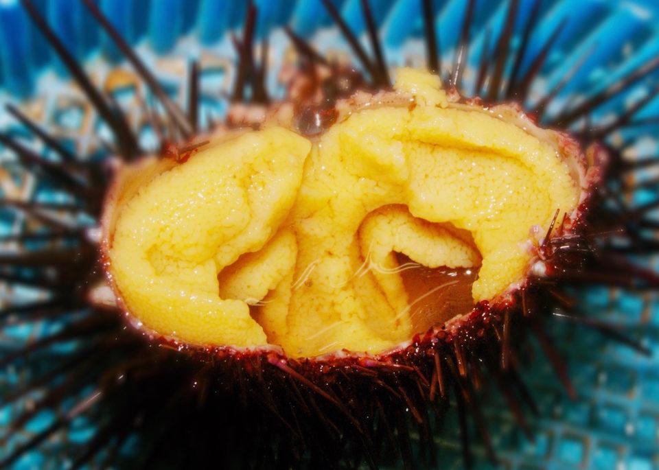 zombie urchins