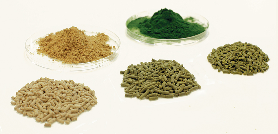 Article image for Algae alternative: Chlorella studied as protein source in tilapia feeds