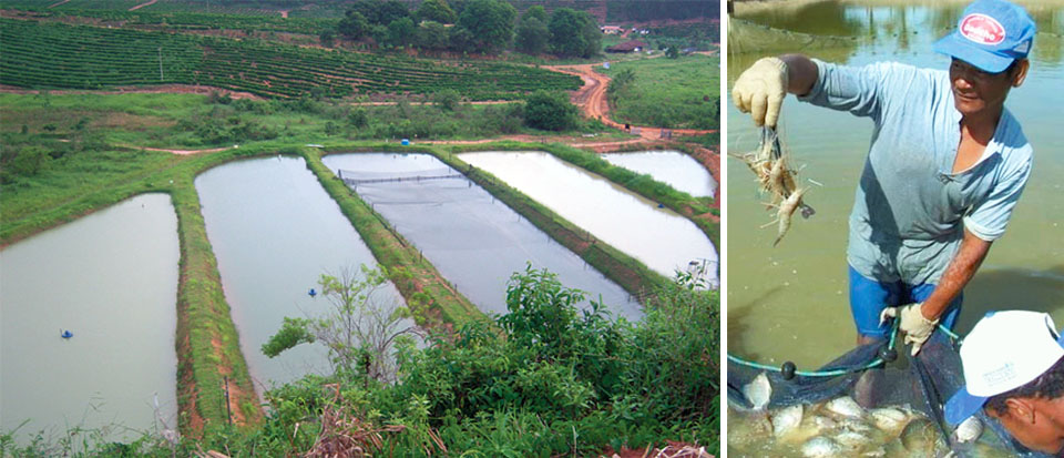 Article image for Freshwater prawn farming in Brazil