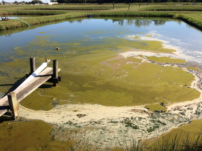 Article image for Removing cyanobacteria and associated toxins in aquaculture ponds