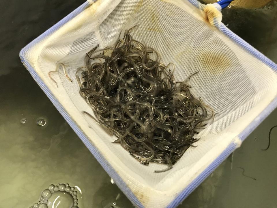 eel farming