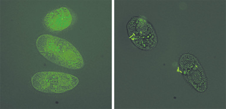 Article image for Ich parasite serves as vector to transmit bacteria to fish