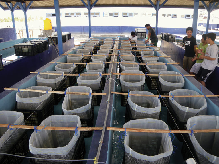 Article image for Lobster farming in Indonesia