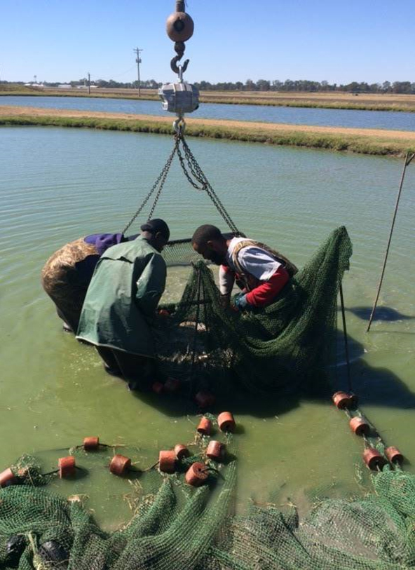 Article image for Evaluating commercial, dietary pre-, pro- and synbiotics in hybrid catfish