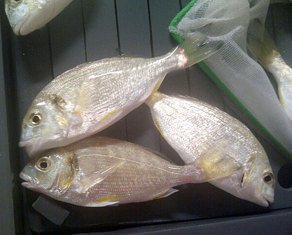 Article image for Practical feeds without fishmeal suitable for gilthead sea bream