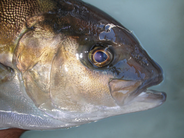 Article image for Advances in yellowtail larval rearing