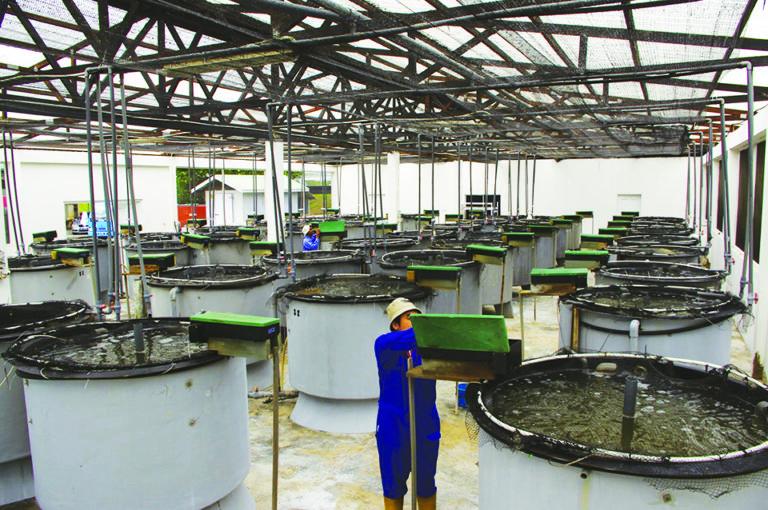 Article image for Brunei project develops technology for large black tiger shrimp production, part 4