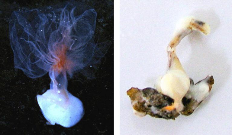 Article image for Spermatophore regeneration in black tiger shrimp